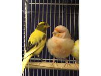 Canary £25 each