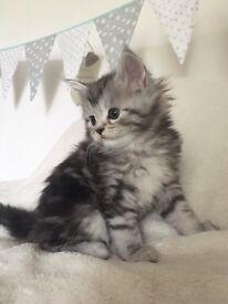 Silver Tabby Maine Coon^^ Kittens! X