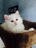TICA registered rare blue eyed white Ragdoll kitten