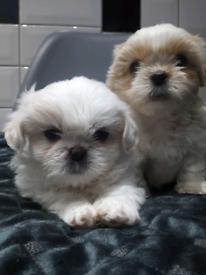 puppies shih Tzu