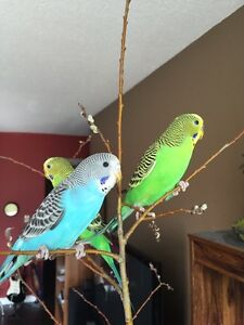Family of 10 budgies