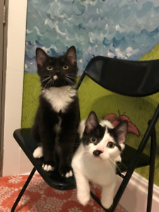 Shy rescued kittens in need of patient new homes! ALREADY SPAYED