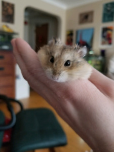 Female Dwarf Hamster Rehoming!!