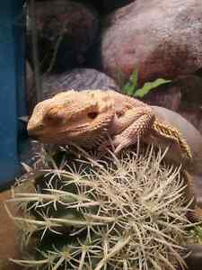 Male Bearded + home for sale