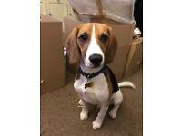 9 month old male beagle puppy boy