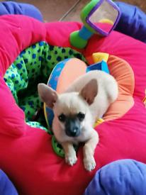 GORGEOUS Chihuahua BOY