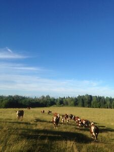 Hereford cows for sale