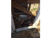 Hutch and 2 female ferrets