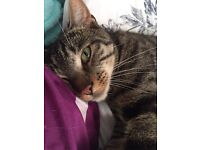 1 year old male tabby neutered