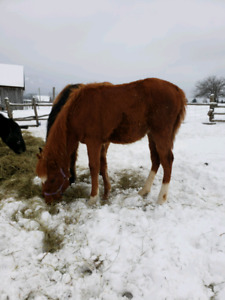 Gorgeous filly *only till end of Feb*
