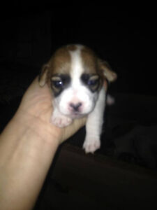 Jack Russell Puppies London Ontario image 8