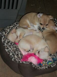 Chihuahua Puppies Ready for Fur-Ever homes