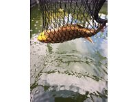 Butterfly Koi gold colour good size