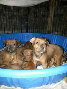 5 Christmas pups still available  Peterborough Peterborough Area image 8