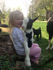 Dairy Goats for sale (Milking Doe, Doelings and Bucklings)!