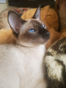 Traditional & Classic Siamese Kittens
