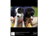 Jack Russell male pups