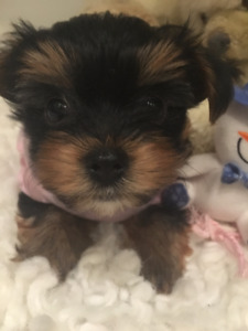 BABYDOLL TEACUP YORKIE GIRL MIMI FOR SALE - WE FINANCE