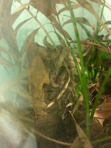Male Crested Gecko with fully planted terrarium Gatineau Ottawa / Gatineau Area image 3