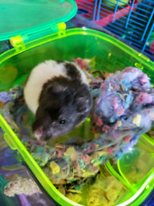 Pet Hamster, Cage and accessories