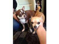 Beautiful tri chihuahua pups for sale