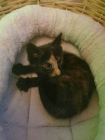 Female kitten