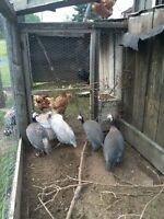 Four Guinie fowl for sale
