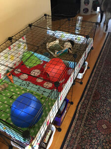 Guinea Pigs and Huge Cage for Sale
