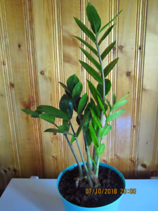 Zamioculas Zamiifolia -  (ZZ)/Money Plant/ Air Purifying