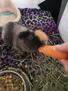 Skinny pig and guinea pig to rehome! PRICE DROP!