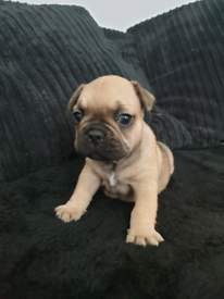 French bulldog bitch puppies ready end of Sept