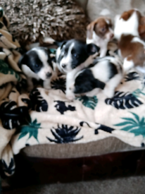 Jack Russell x Yorkshire terrier puppys