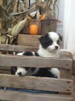 2 stunning Toy Australian Shepherds ready to go!!