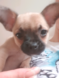 F2 French bullhuahua puppies ready now