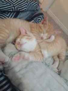 14 week old ginger kittens needing a home