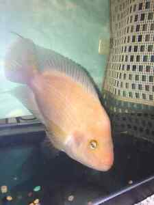 Red Devil Fish