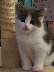 FEMALE 1/2 Ragdoll Kitten For Sale