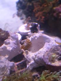 Corals for sale, marine tank, saltwater, zoa, Kenya tree, zoanthid, zo