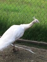 Albino peacock for sale