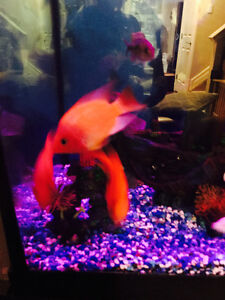 Selling my tree blood parrot  cichlids