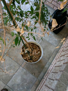 Large 6ft indoor designer house plant Ficus (real)