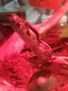 Looking to adopt/rescue any boas in the area please let me know. Peterborough Peterborough Area image 2