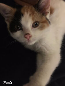 Rescued Kittens for Adoption- Vaccinated, Fixed & Microchipped