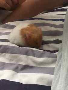 Syrian Hamster with all Nessesities Kitchener / Waterloo Kitchener Area image 1