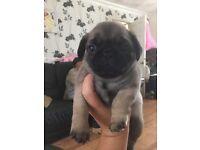 3 beautiful boy pug puppy's ❤️