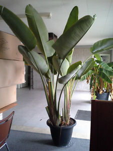 9 FT LIVE BIRD OF PARADISE POTTED PLANT FOR CHRISTMAS GIFT
