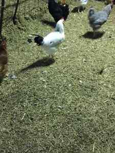 Columbian rock roosters