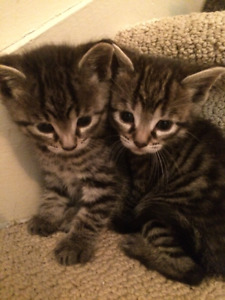 Magnifiques chatons Savannah/Bengal blue smoked