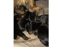 Yorkshire terrier puppies ready oct