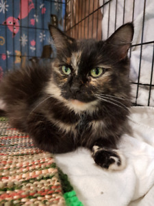 Pixie adult cat for adoption- spayed, vaccinated, microchipped